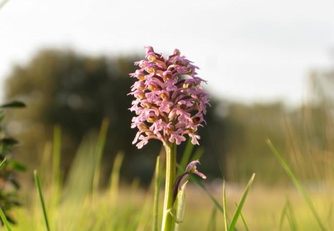 Ejemplar de orquídea Orchis lactea, que