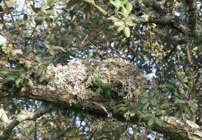 Posiblemente, este sea un nido de zorzal charlo, un ave de mayor tamaño que un mirlo.