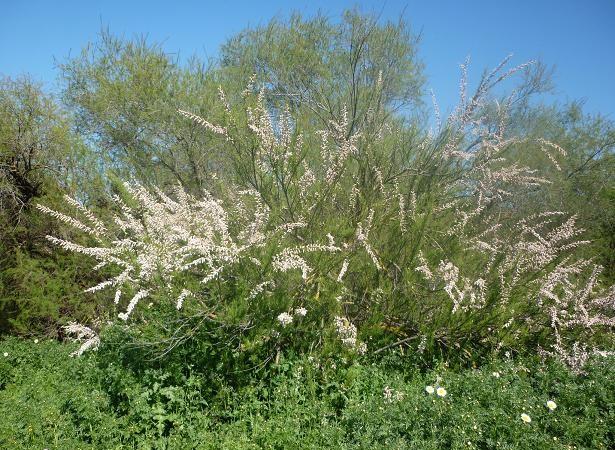 Este año es abundantísima la floración del taraje (Tamarix africanus) como se puede ver en la foto tomada en la margen del río Corbones. En ella se aprecia también el