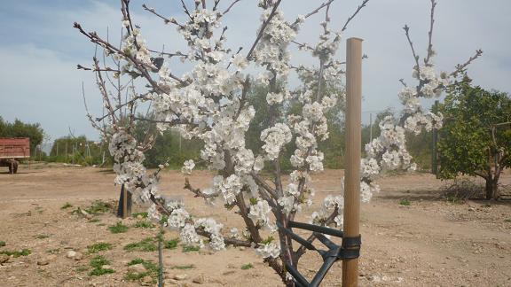 El cerezo que plantaron mis nietos hace dos años está en su primera floración.