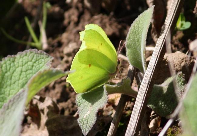 En esta fotografía de una mariposa limonera tomada hace solo unos días se aprecia que sus alas son ya casi, por lo harapientas y rotas, las de un