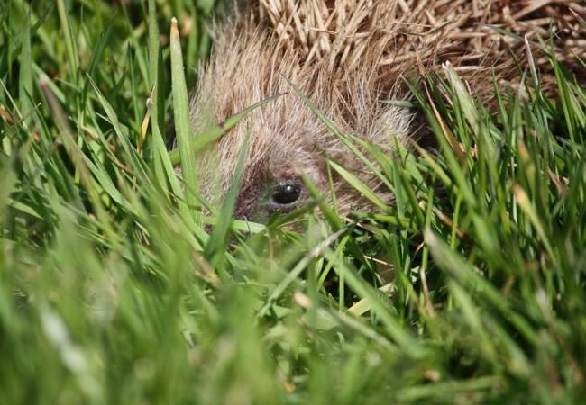 13:08 Acabo de fotografiar sobre la hierba a esta cría de erizo, cuyos ojos, qué