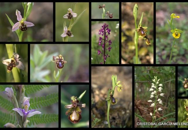 Orquídeas de la serranía de Ronda, un lugar con