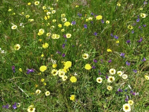 Ya cuando nos acercábamos con el coche, vi sobre las alambradas un macho de collalba rubia, el campo estaba lleno de amapolas y de otras flores que crecen en los caminos,