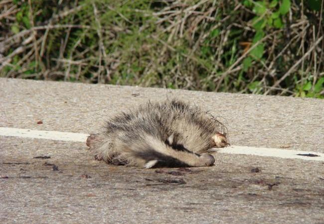 En esta época del año,la actividad de la fauna está en su máximo posible y por ello nuestras aves, nuestros reptiles, nuestros mamíferos, nuestros anfibios, mueren especialmente en las carreteras. Cuando cruzan sobre todo de noche,