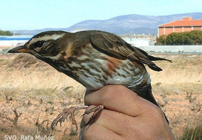 Hola Mónica. Soy Daniel, maestro y miembro de la SVO (Sociedad Valenciana de Ornitología). Conocí  tu página precisamente a través de miembros de