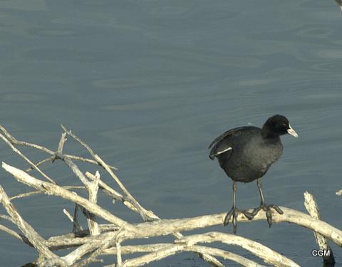 Hola a todos.En esta foto de focha se puede ver sus grandes patas.  Un saludo (esta tomada en la laguna de Medina Sidonia).  Un saludo,                Cristóbal