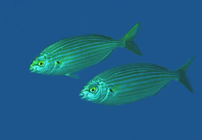 Estoy viendo ahora mismo, buceando con las cámaras, a un pez que tiene dos bandas negras