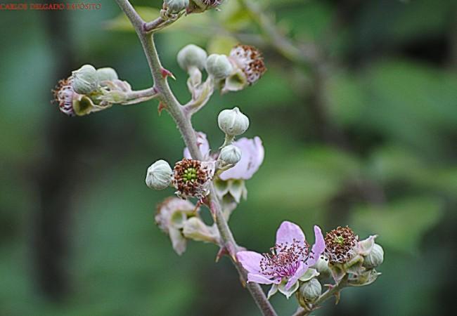 Flor de la zarzamora