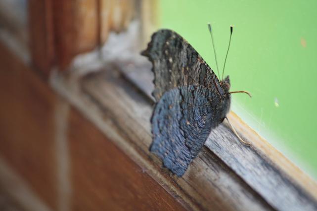 Cada vez me gustan más las mariposas con las alas