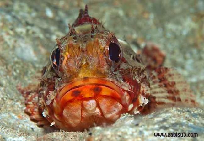 Buenas.Este es uno de los peces que se pueden ver ahora mismo a través de  las cámaras submarinas