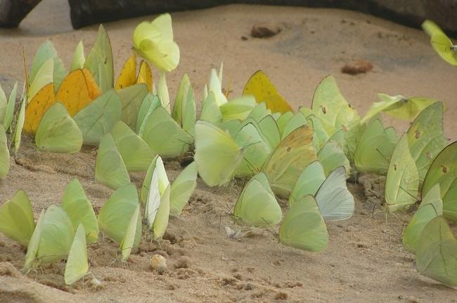 Enjambre de mariposas en el río Caura