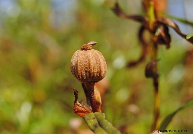Estos días han desaparecido ya las flores de la jara pringosa,
