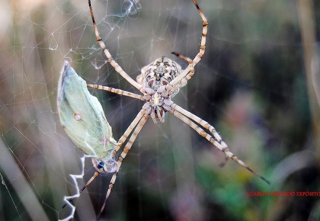 Esta araña angiope de la fotografía, ha visto premiada su paciente espera con esta mariposa,