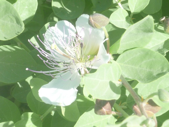 Quizás  las flores más vistosas que pueden contemplarse en esta época del año en acirates y cunetas soleados de muchos suelos calizos de la España mediterránea sean las de los alcaparros