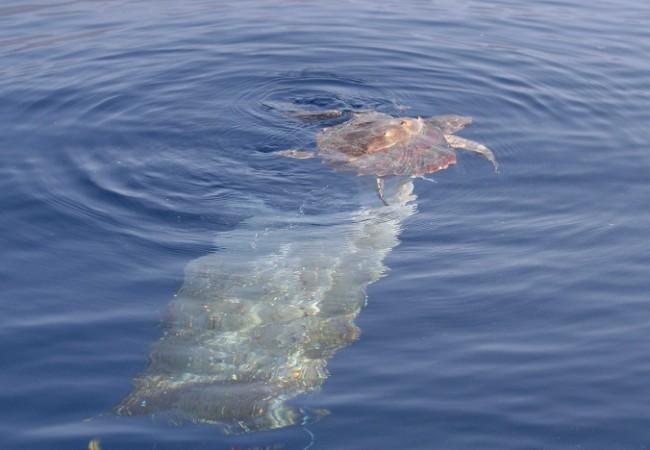 Una vez presencié en alta mar a dos alcatraces (Morus) que, durante horas,