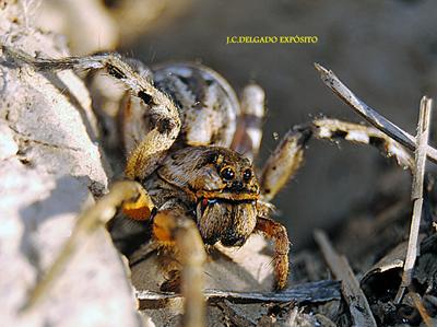 Esta araña se encontraba el sábado pasado en una SÍGUENOS TAMBIÉN EN FACEBOOK..La playa de San Jorge donde jugaba Gonzalo Torrente Ballester de niño..FOTO…