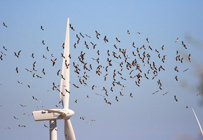 FOTO: Migración de cigüeñas negras por el estrecho de Gibraltar. AUTOR:Arkadiusz Broniarek