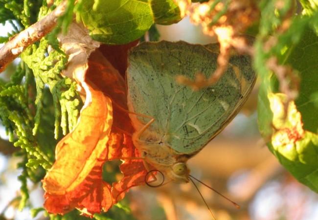 Se trata de la mariposa de mayor tamaño y belleza dentro de su grupo, fritilarias, que significa