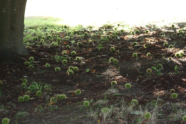 Está la sombra del castaño y su lecho de flores ennegrecidas, DIOS, artículo de hoy sábado publicado en ABC