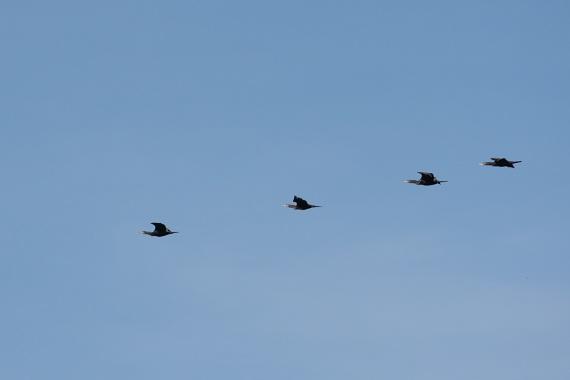 Sobre el mar, esta tarde, pasaron muy altos estos cormoranes en formación como si fueran cuatro negrones, esos patos oscuros y marinos.