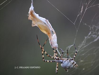 Cómo inmoviliza la araña angiope la mejor arma de la mantis…