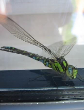 Es una libélula que se posó en mi ventana el pasado verano.