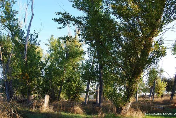 Las hojas de los chopos parece que se resisten a caer este otoño, en la chopera en la que me
