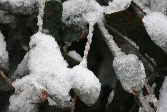 Hoja de eucalipto joven el 3-12-2010