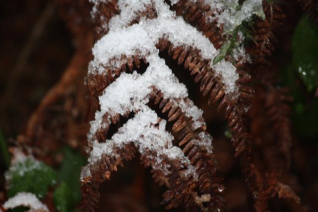 Fronde de helecho tras la nevada el 3-12-2010 (Aceytuno)