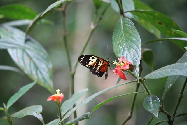 No he visto en ningún otro sitio como en Panamá, tantas especies distintas de mariposas en un mismo