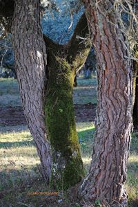 Esta encina y este pino piñonero, se abrazan de