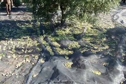 Como una imágen vale más que mil palabras, te adjunto una foto de aceituna arbequina de olivos de 13 años.