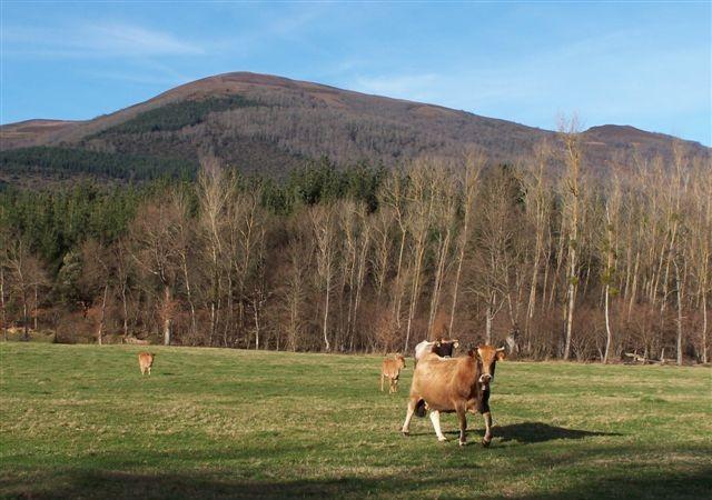 Desde hace dos meses pululan pequeños bandos de garcillas bueyeras en prados del Valle de Mena.