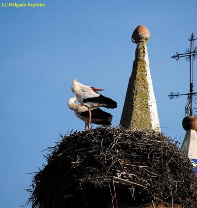 Estas cigüeñas blancas, emitían sus crotoreos esta tarde en su nido de la cúpula de la la iglesia de Santa María de Fregenal de la Sierra.