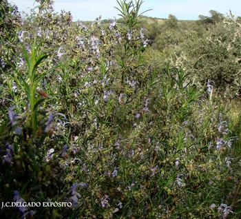 Les diré yo que el romero es una planta que florece todo el año, ahora mismo se pueden encontrar multitud de plantas de romero florecido, a pesar del frío.