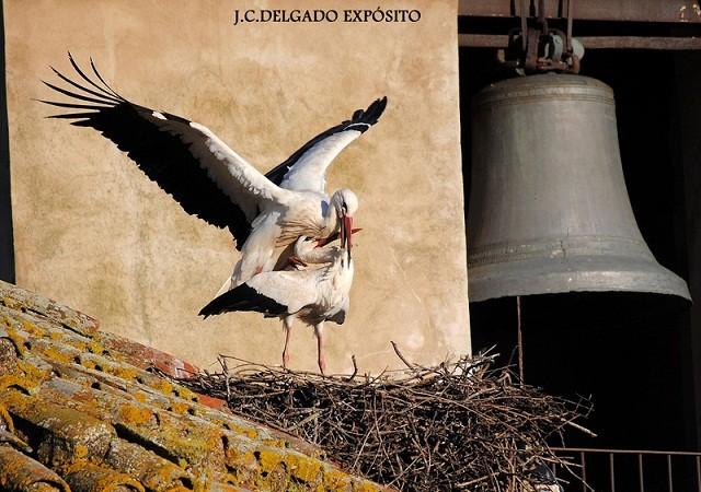 """He podido observar a lo largo de los años, y esta semana ha sido la última vez, cómo las cigüeñas de los nidos de la torre del reloj se comportan como unas verdaderas """"ladronas""""."""