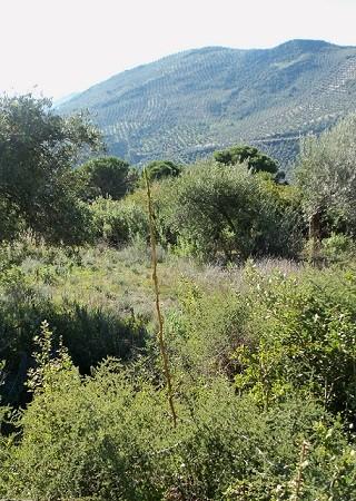 Las esparragueras se han disparado tras las lluvias abundantes del invierno y la subida de