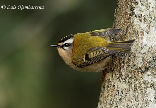 Censo  de aves comunes por los Montes de Ordunte Valle de Mena.