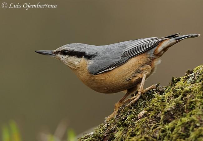 Este pájaro pequeñísimo, azul y gris como el cielo más inmenso, con pico de pájaro carpintero que deja en la madera una media luna, tiene una forma de trepar por el tronco que recuerda a la de las lagartijas,