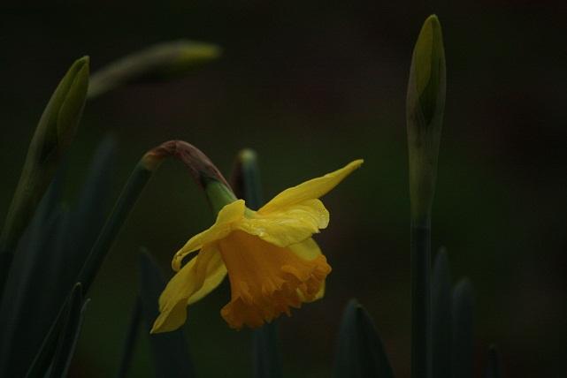 Hoy está lloviendo, y hace frío, pero ahí están los narcisos florecidos al pie de los cerezos, adormilados de mirarse a sí mismos en el espejo de los pocos días en los que viven, amarillos