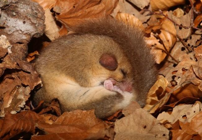 Estaba el lirón dentro de un tronco y tiene un sueño tan profundo que el flash no le despierta.  Roberto Ragno