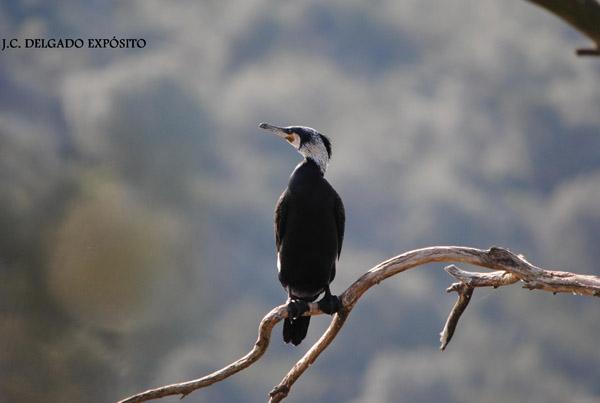 Estos días se solean los cormoranes en las ramas de los eucaliptos,del embalse de Valuengo en Jerez de los Caballeros.  Juan Carlos Delgado Expósito