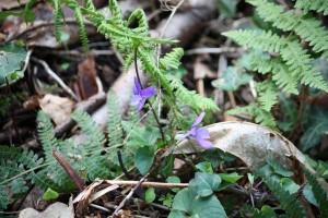 Violeta florecida entre la hojarasca / Aceytuno