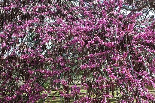 El Cercis siliquastrum está ahora en plena floración. Debe su nombre vulgar, árbol del amor,  Joaquín