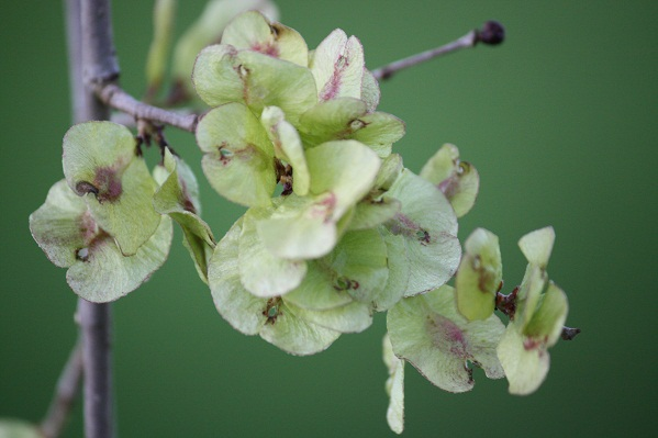 Todavía no ha echado las hojas y ya tiene el olmo, esta primera tarde de primavera, las semillas.  Mónica Fernández-Aceytuno