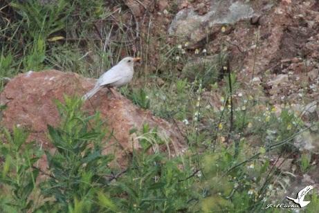 Me habían dicho que habían visto un mirlo blanco por la zona de Mijas costa junto a un campo de golf.  Cortés