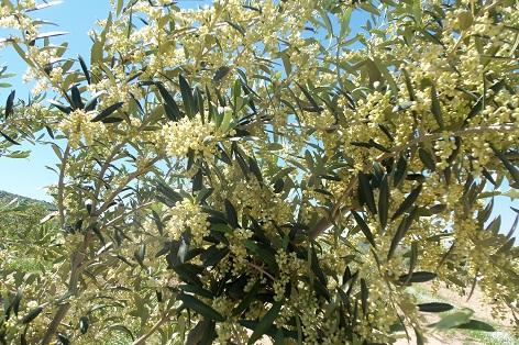 La floración del olivar, abundantísima con carácter general, se está adelantando. La foto, de un joven olivo arbequino, verdaderamente pletórico, fue tomada el pasado día 13.  Joaquín