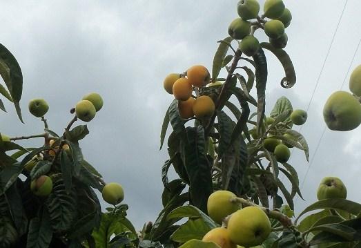 Florece durante los días más fríos del invierno y es el primero del huerto en ofrecernos sus frutos.   Joaquín Ingeniero Agrónomo y Agricultor