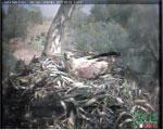 También de noche, mira AQUÍ en directo cómo duerme arrebujada el Águila Imperial en su nido. Parece más frágil que nunca.